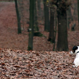 Patient Dog in Forest